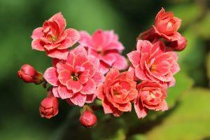 kalanchoe flores