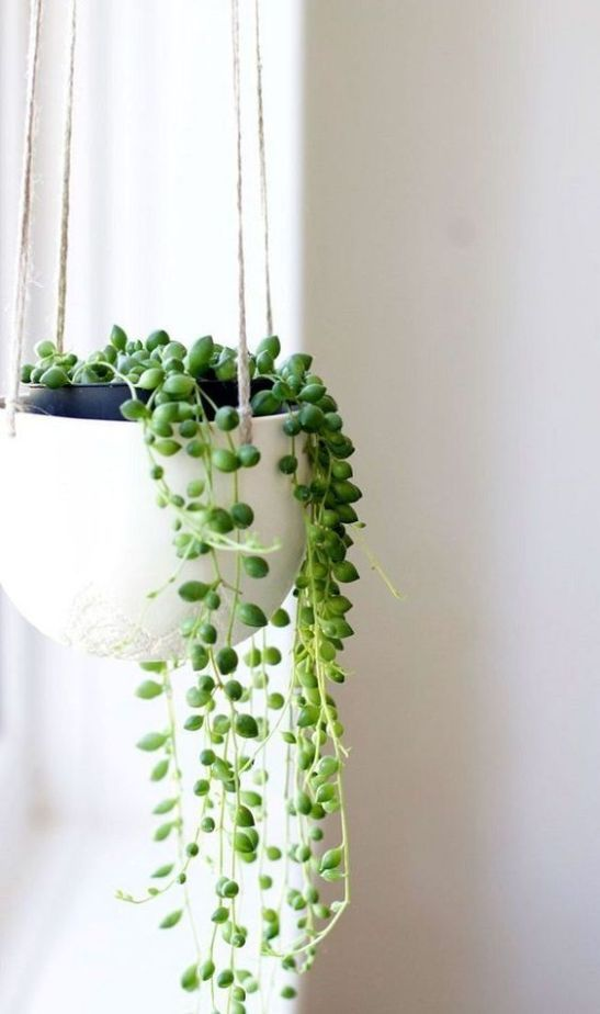 senecio planta rosario