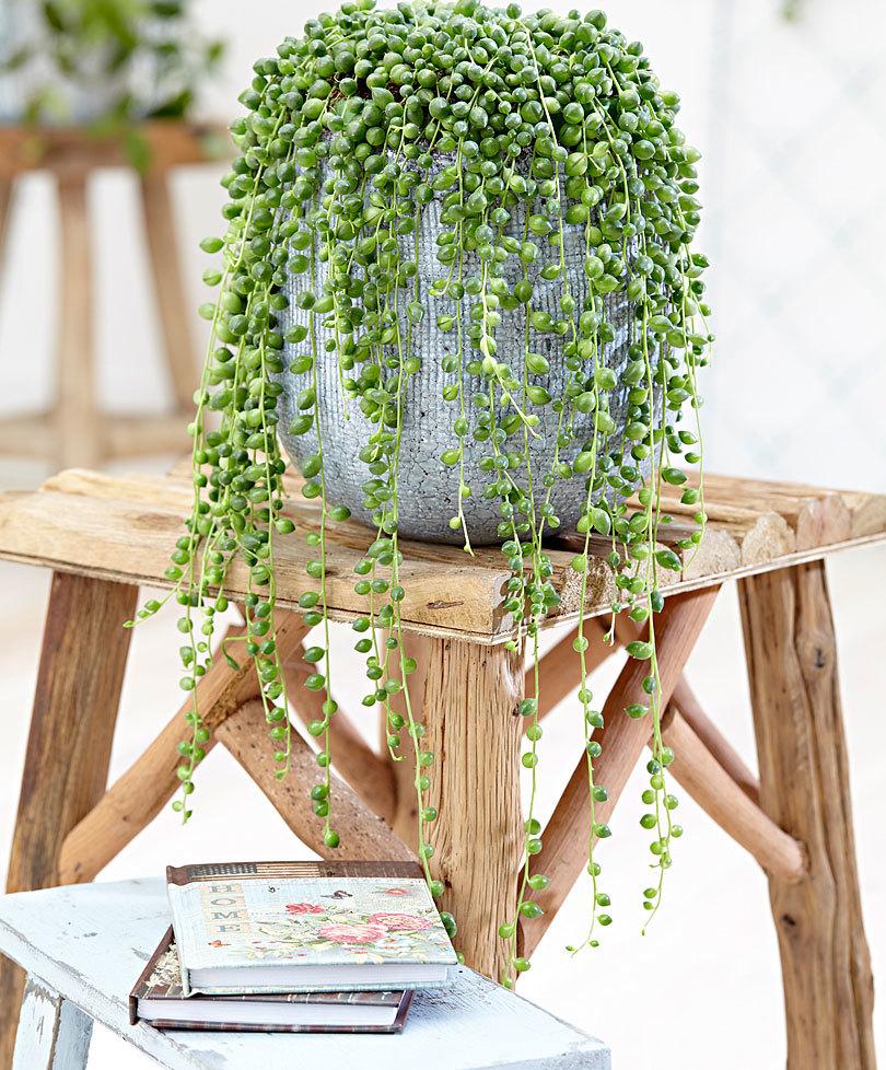 planta rosario mesa maceta