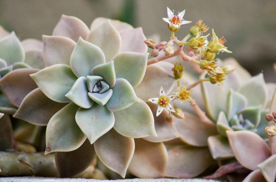 suculentas flores pequeñas