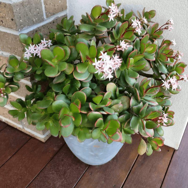 suculenta flor maceta