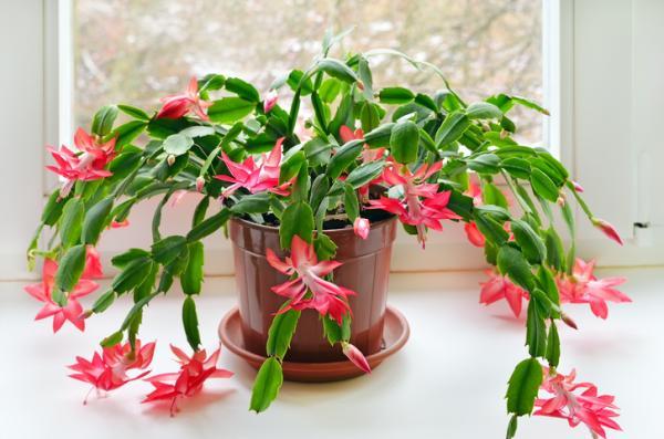 como cuidar ripsalis de flor