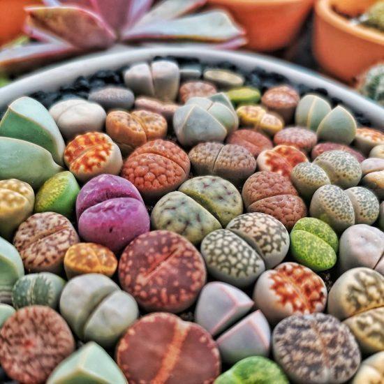 lithops colores suculentas