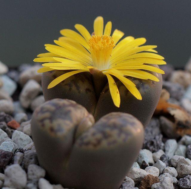 flor amarilla lithop