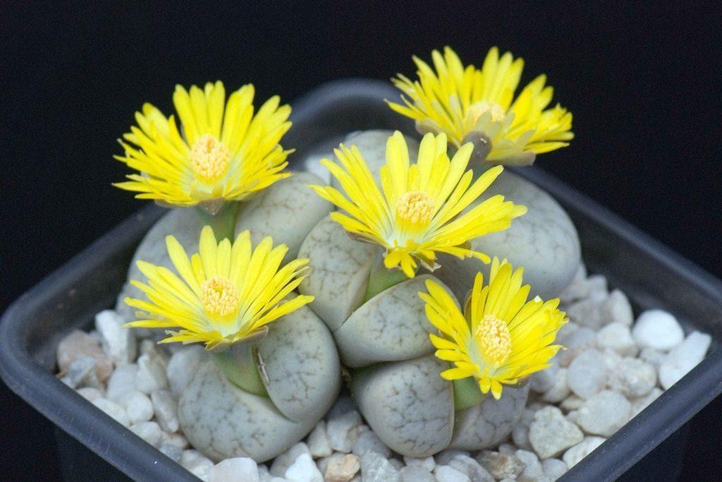 lithops flores amarillas maceta