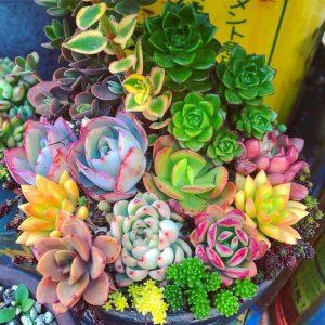 suculentas colores jardin