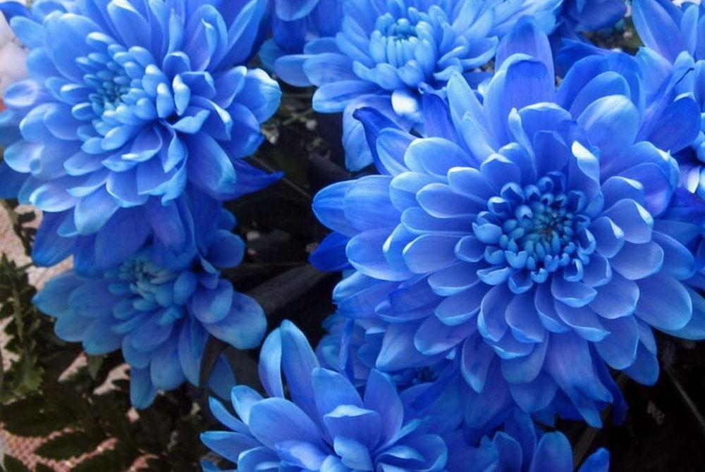 suculentas azules