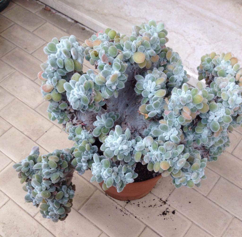 planta echeveria cristata maceta