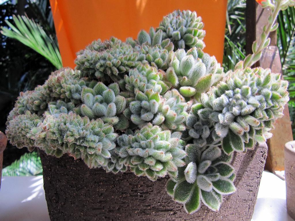 jardín exterior planta echeveria setosa