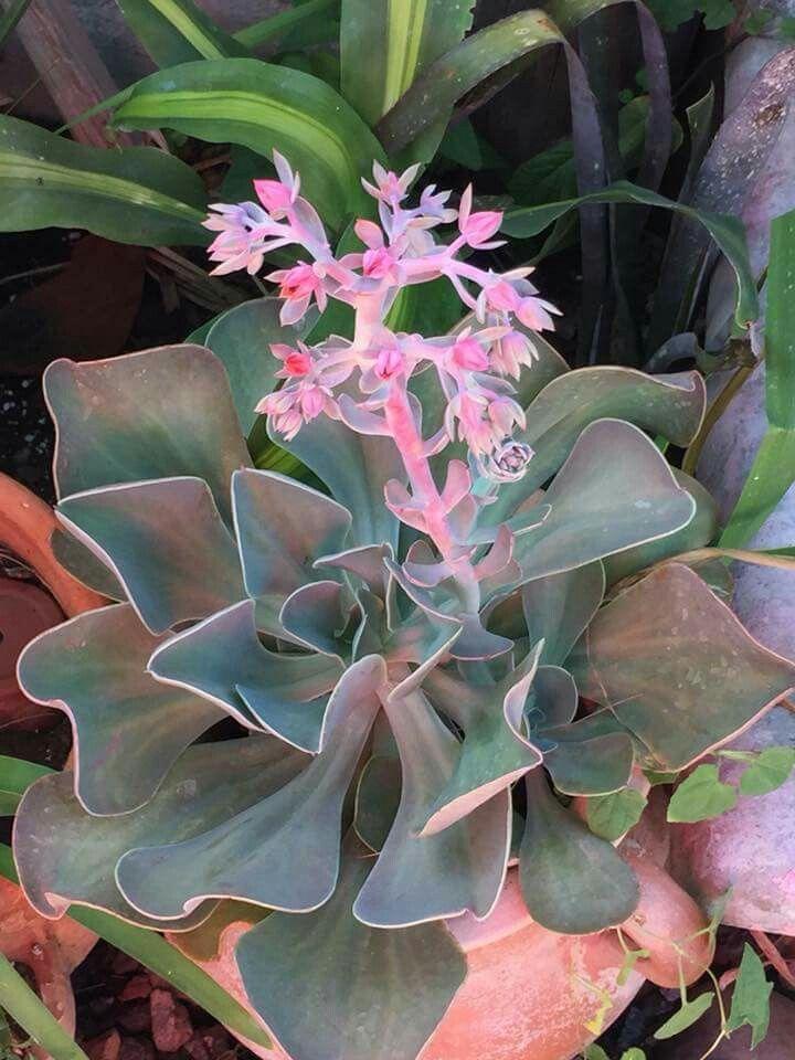 flor echeveria maceta planta
