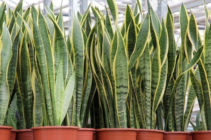 plantas maceta sansevieria
