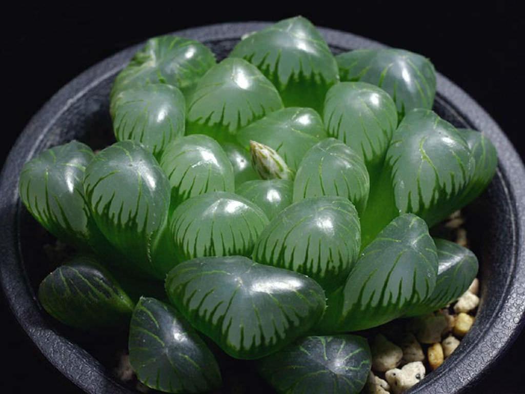 plantas suculentas raras maceta