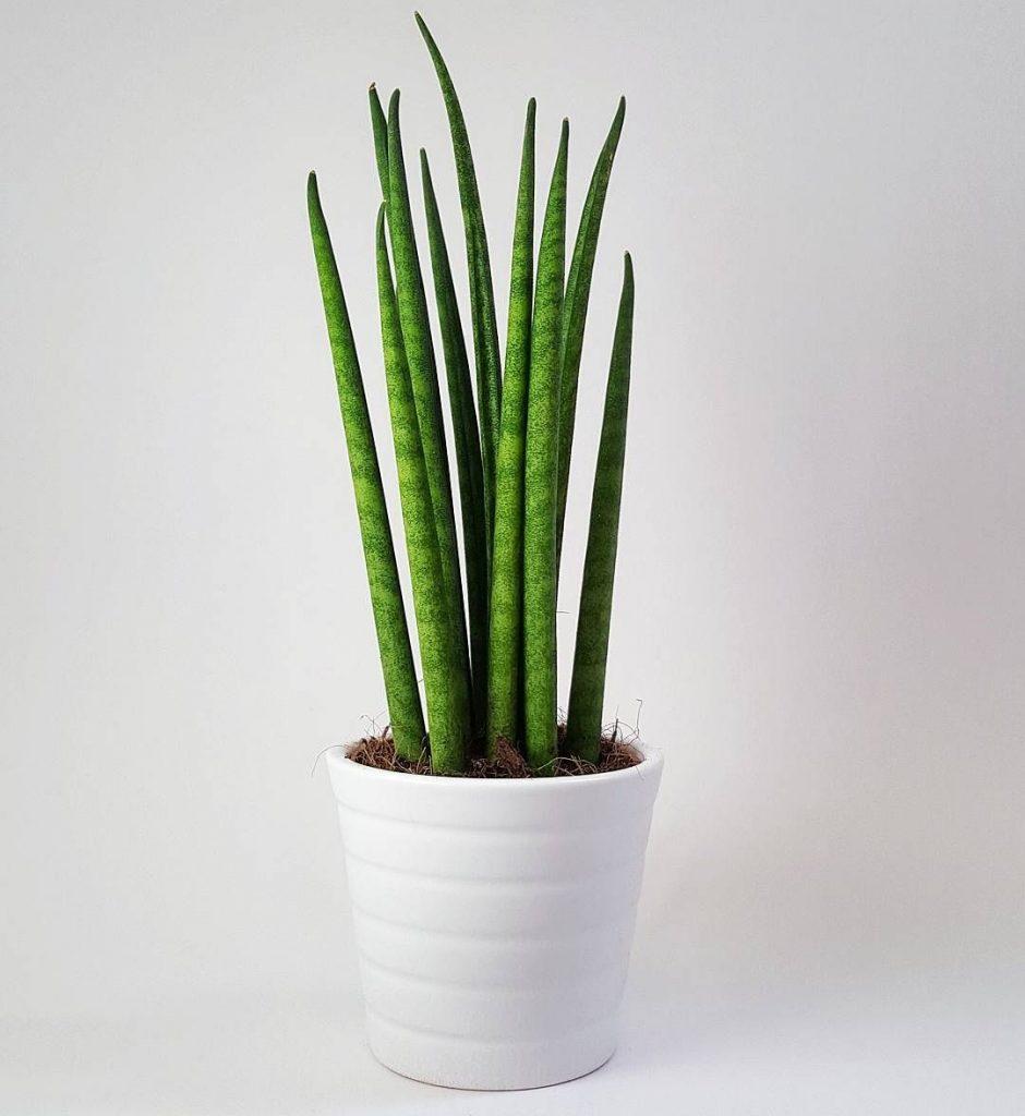 maceta planta suculenta extraña
