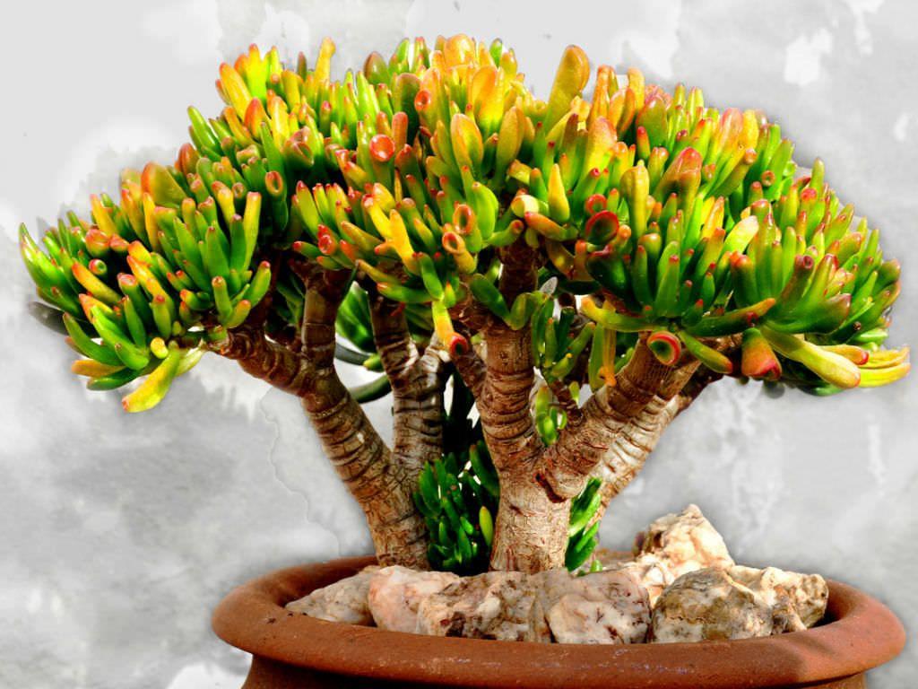 maceta suculenta crassula ovata