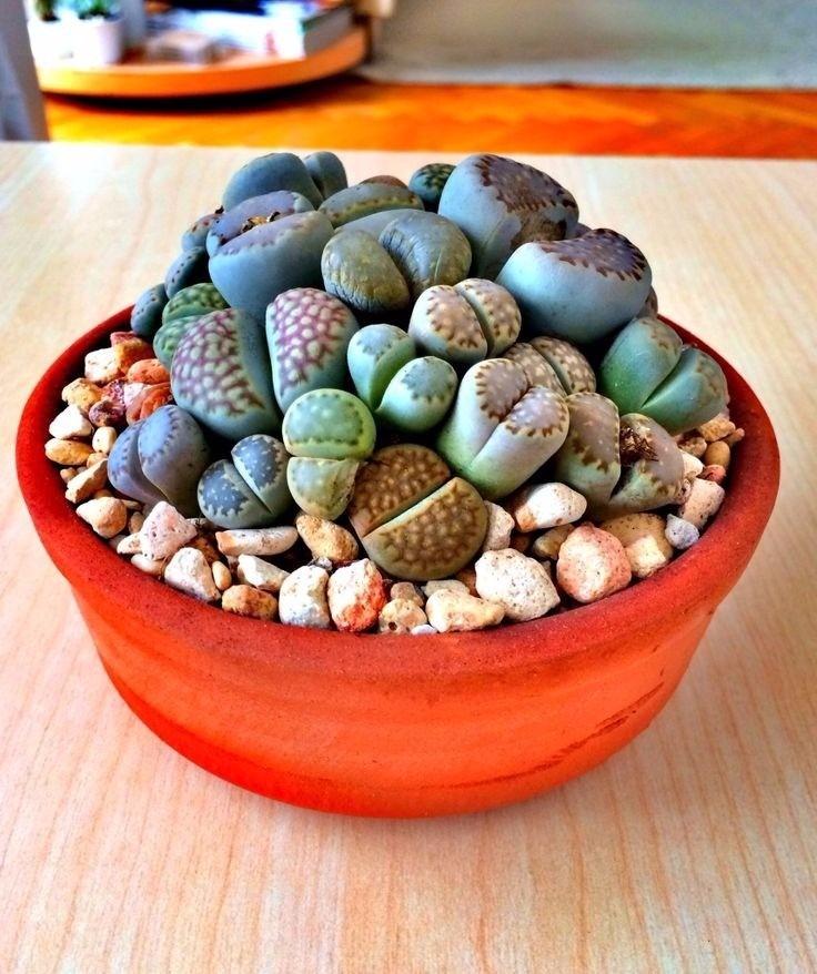 planta suculenta rara maceta cactus piedra