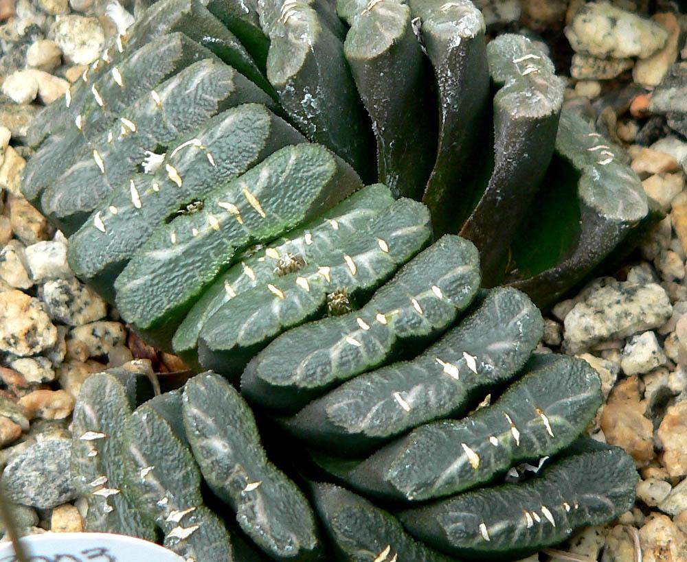 suculenta planta haworthia truncata